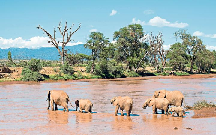 A herd of elephants crossing the  Ewaso Ng'iro river between Samburu national reserve and Buffalo Springs national reserve.