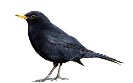 The Sweet-singing Blackbird Is In Decline - Could Climate Change Bring It  Back?