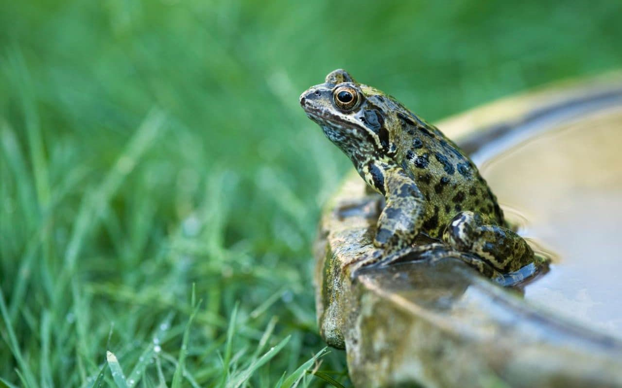 Frogs And Toads Vanishing In Britain As Garden Ponds Fall