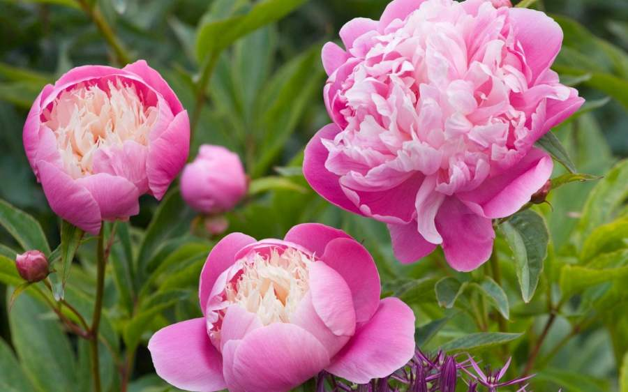 Peonies  more  better and bigger flowers for colour in early summer     Peony  Bowl of Beauty