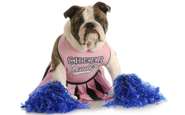 A bulldog in a cheerleader outfit with pom-poms