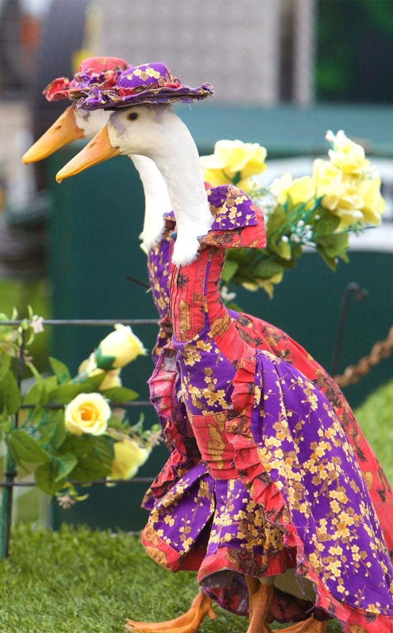 A pair of ducks wearing floral gowns and hats