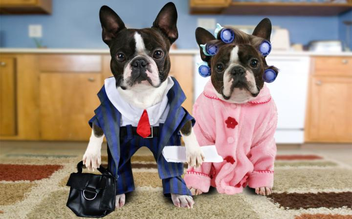 Two French bulldogs wearing human clothes