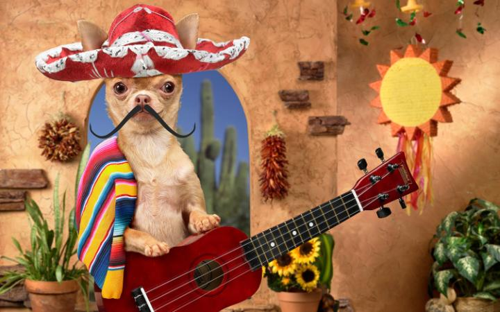 A chihuahua dressed up in a Mexican sombrero, poncho and moustache, playing the guitar