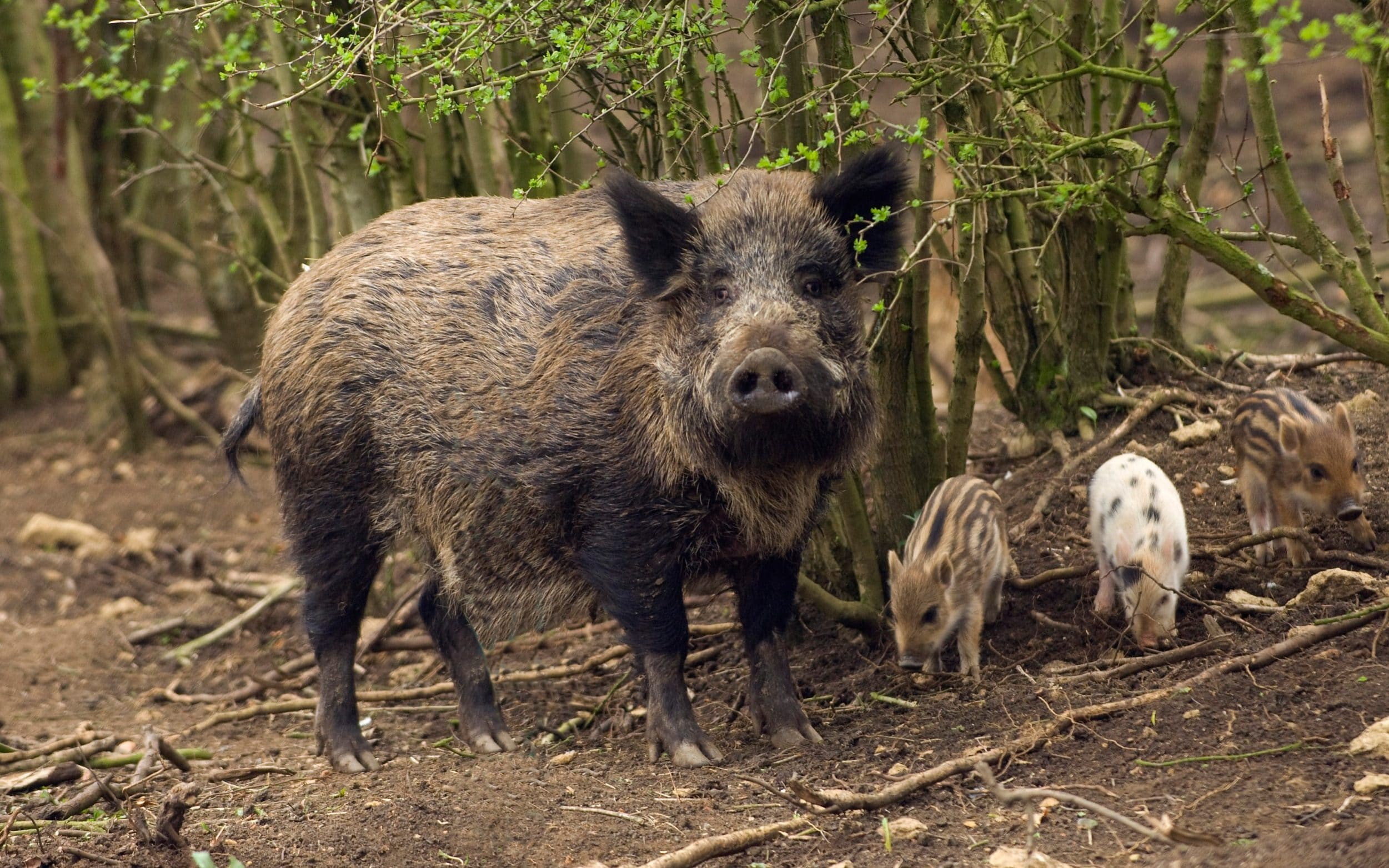 British woman turns dream home into wild boar shelter to save them from hunters
