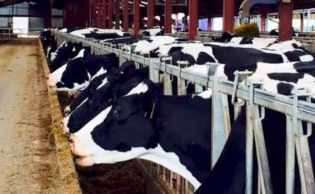 Dairy cows' slurry is now worth more than their milk