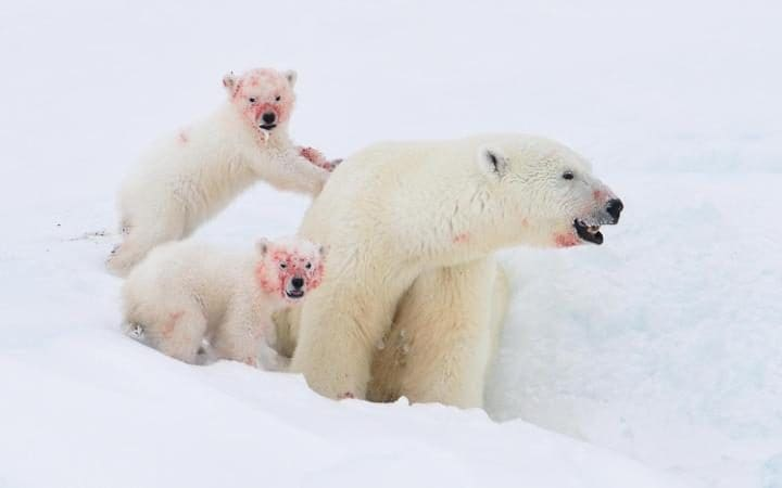 Two red-faced polar bear cubs look up from behind their mother - after finishing their lunch. The trio were feeding on a seal and while the female polar bear was able to keep her fur fairly clean, her young cubs were quite happy to get messy. The little family were photographed out on the sea ice, off the coast of Baffin Island, in the Canadian Arctic north, of Qikiqtarjuaq, Nunavut.