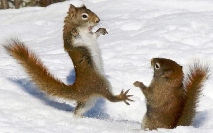 A red squirrel adopts a ninja-like pose reminiscent of the 80s blockbuster Karate Kid as he squares up to another rodent during a fight. The pair of squirrels were fighting over some seeds that had been thrown onto the snow in Algonquin Provincial Park in Ontario, Canada.