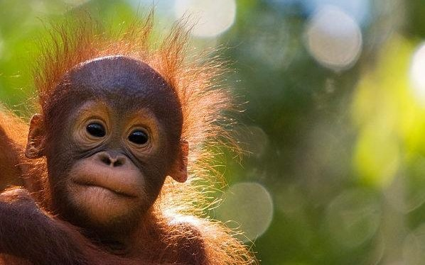 Orangutan Alarm Calls May Reveal Origins Of The First