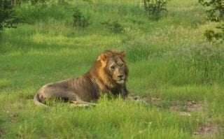 A male lion in Ruaha National Park