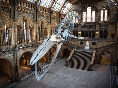 Dippy, the Natural History Museum's beloved dinosaur skeleton, was replaced in summer 2017, to make way for a whale skeleton, which goes with an exhibition on the largest mammals