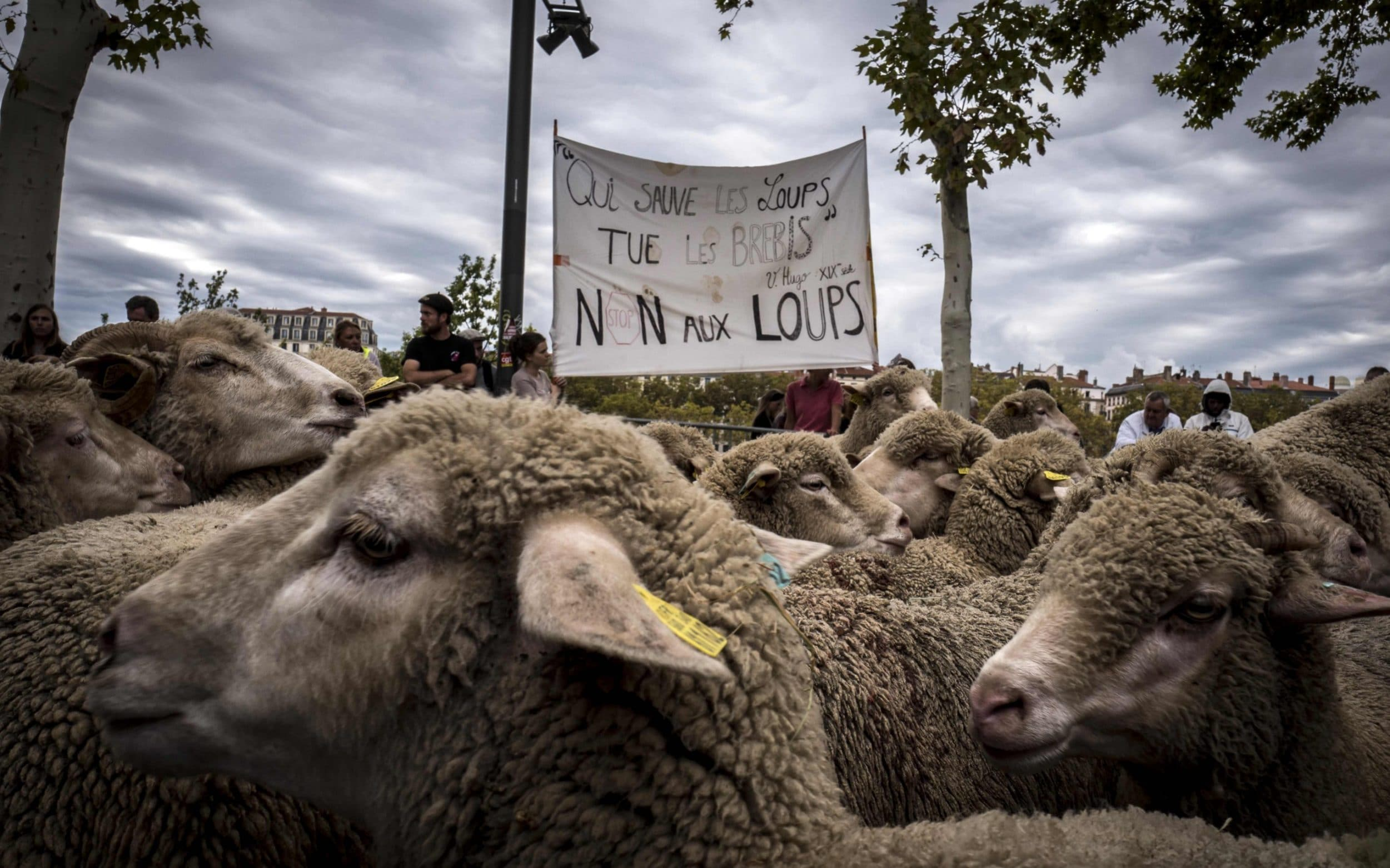 "French breeders hold a banner with a quote by French poet Victor Hugo reading ""He who saves the wolf kills the sheep"" as they demonstrate in Lyon to draw attention to rising wolf attacks on sheep"