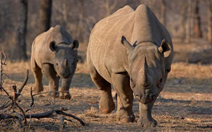 Angry rhino 'appears from nowhere' to turn tables on suspected poacher