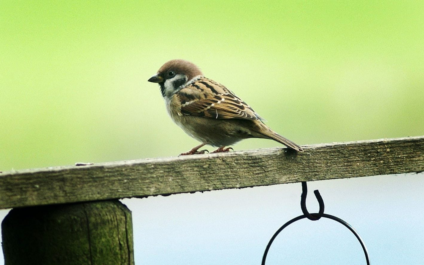 The endangered tree sparrow