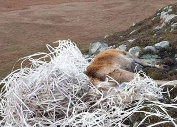 Stag dies in ScottishHebrides after getting tangled in washed up plastic fishing lines