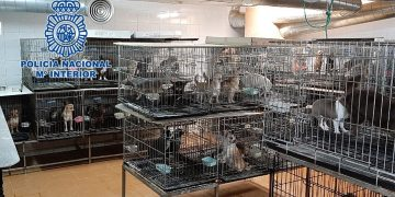 Madrid police bust 2m unlicensed Chihuahua-breeding pit in a cellar, rescuing 270 dogs