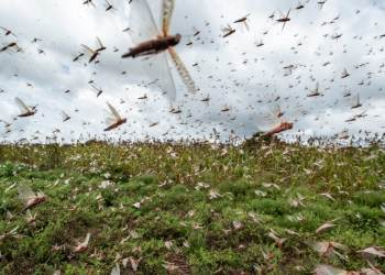Locust swarms descend on East Africa, posing 'main food security drawback'