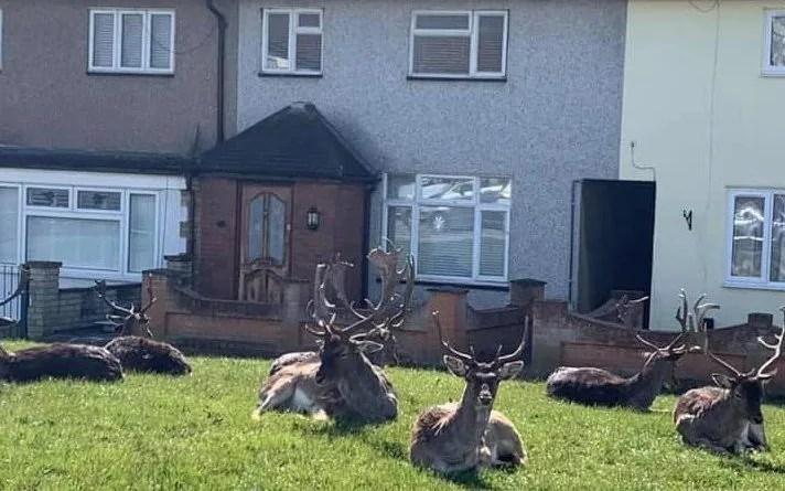 Coronavirus optimistic: good news round-up - deer on our doorsteps