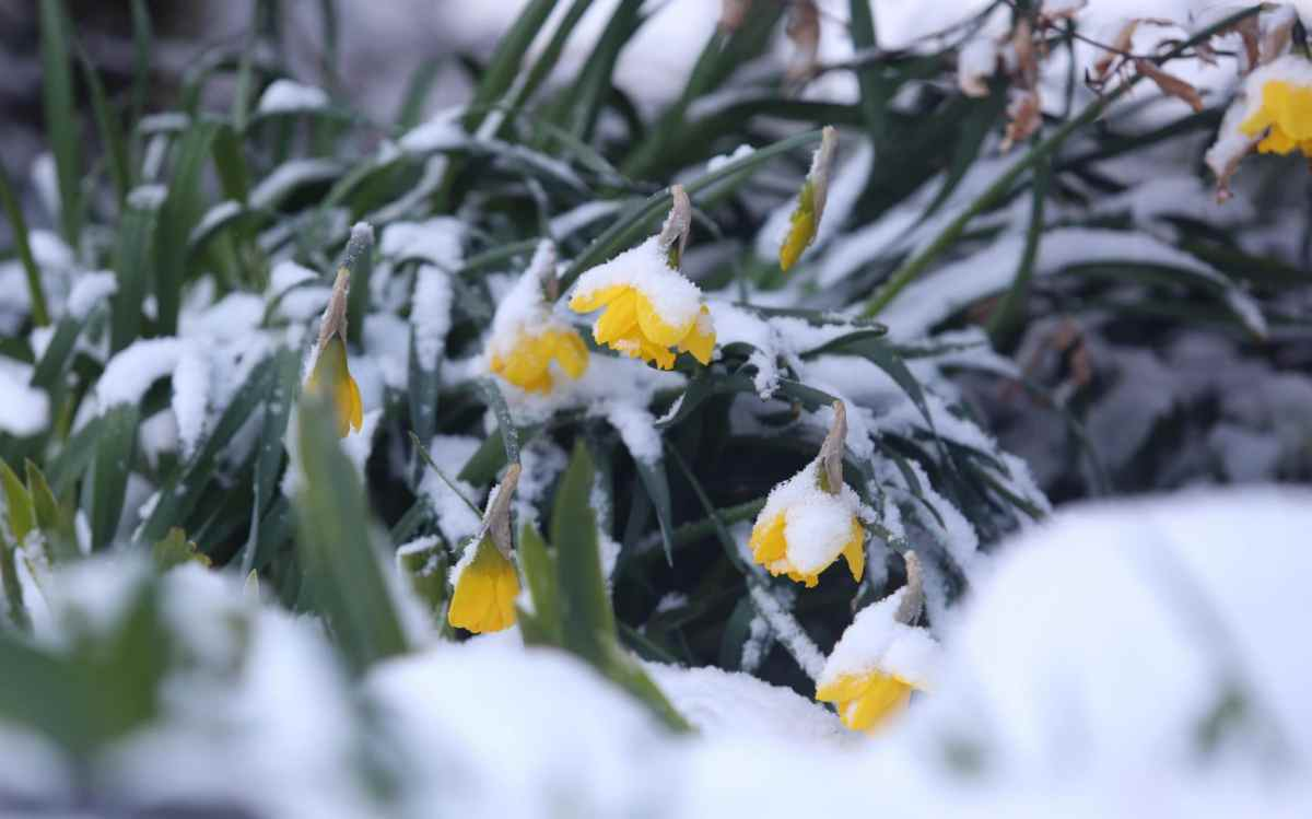 Daffodils in the snow at Muir of Ord in the Scottish Highlands