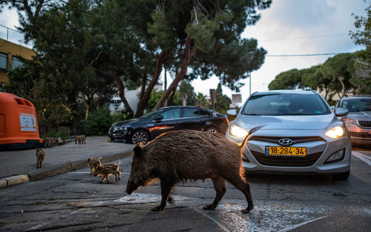 Not a zebra crossing: A sow crosses the road with its litter