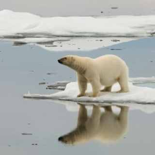 A lone polar bear is reflected in icy Arctic waters.