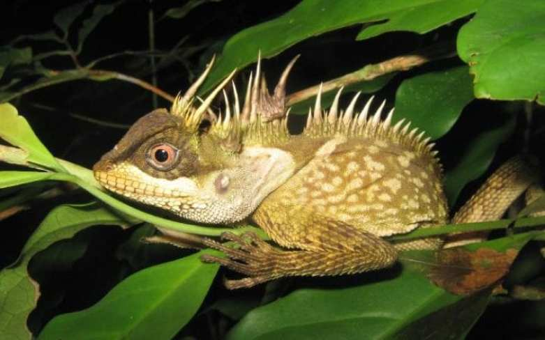 A new species of lizard called acanthosaura phuketensis in Phuket, Thailand