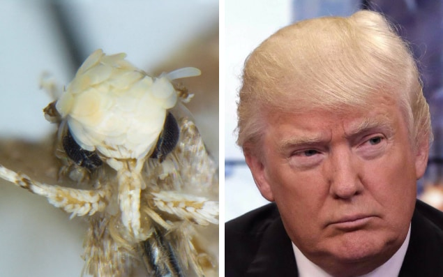 'Neopalpa donaldtrumpi' and Donald Trump