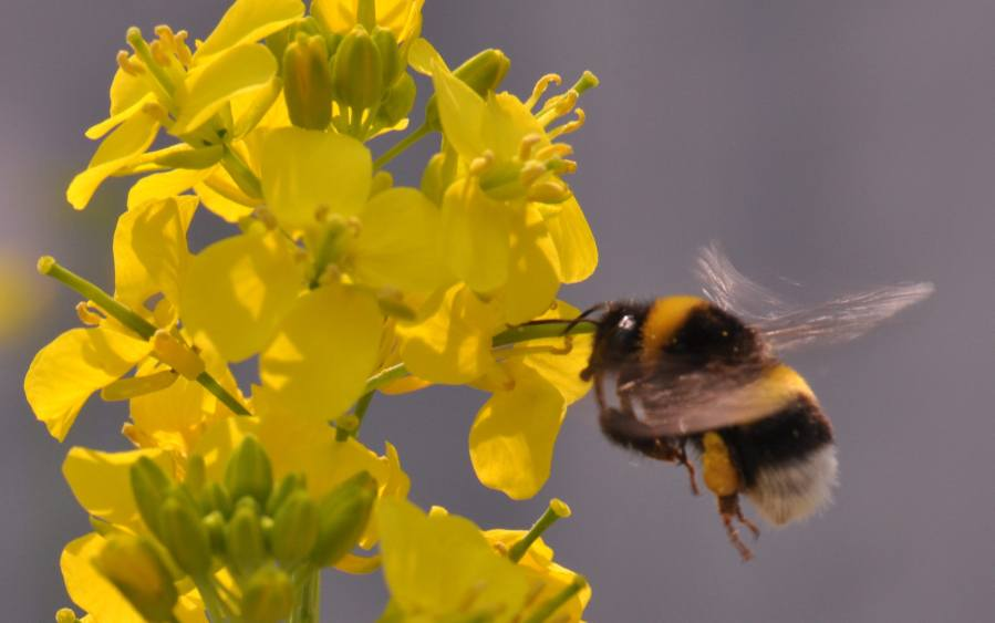 Bumblebees make flowers grow bigger and smell sweeter A bee gathers nectar