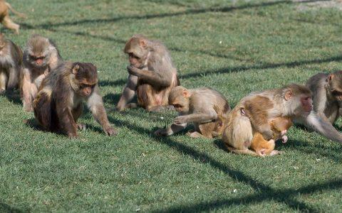 Anti-social rhesus monkeys had lower levels of vasopressin, researchers found