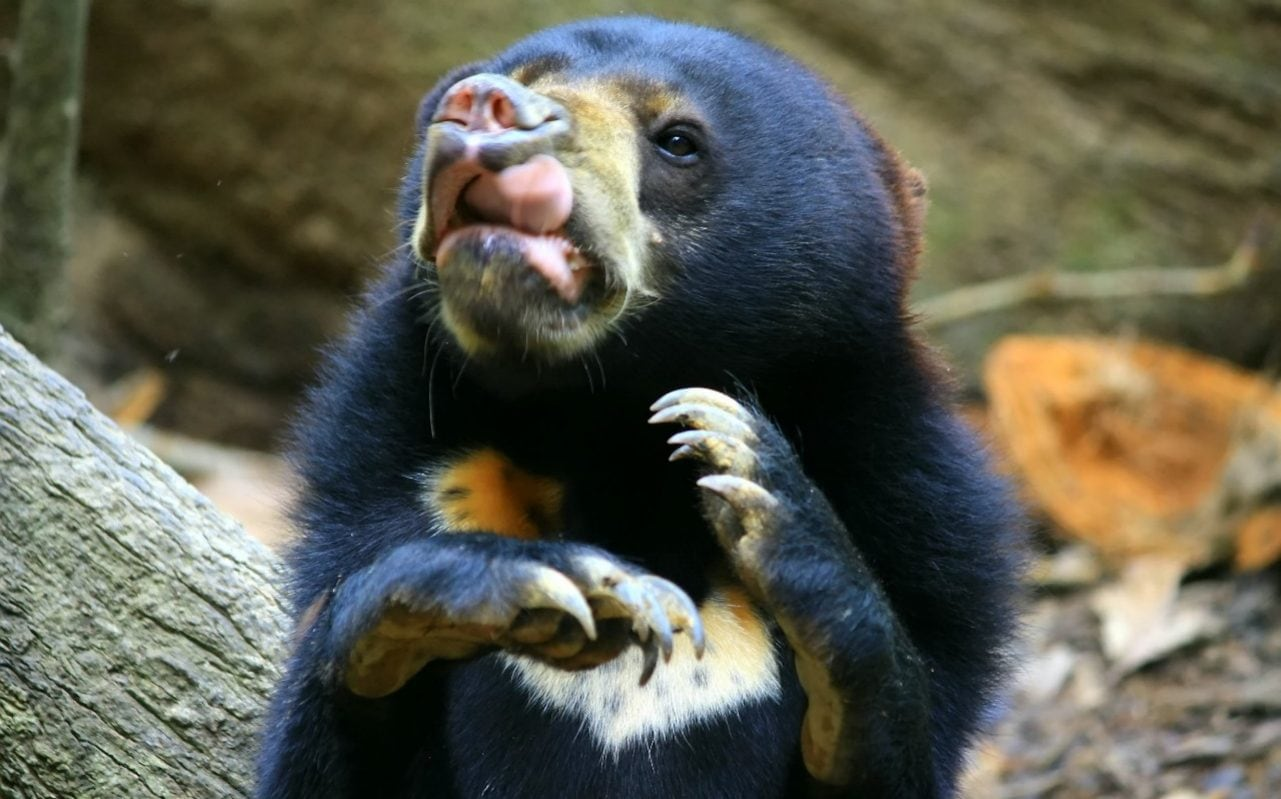 Bears Can Mimic Complex Facial Expressions To Communicate
