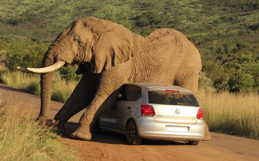 An elephant relives an itch on a small car in the Pilanesberg National Park, South Africa. SOMETIMES you have an itch you just have to scratch - in this elephant's case on a conveniently nearby car. The VW Polo and its two terrified occupants found themselves in the wrong place at the wrong time as the giant ellie stooped down to rub itself against the vehicle's roof and bonnet. The incredible images were taken by Armand Grobler, 21, a field guide and lodge manager, in Pilanesburg National Park, South Africa. The two passengers were shaken up, but escaped without injury - although the same could not be said for their car. But after giving itself a good scratch, the elephant continued on itís way itch free.