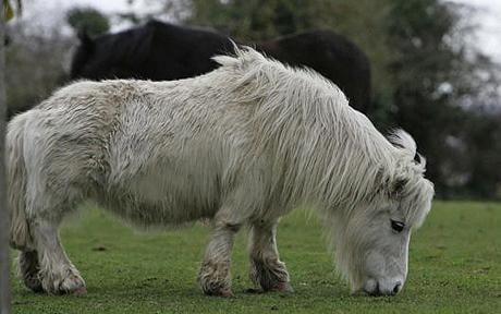 Shorty the pony: Pony with short legs costs taxpayer £8,000 in rescues over fears it is stuck in mud