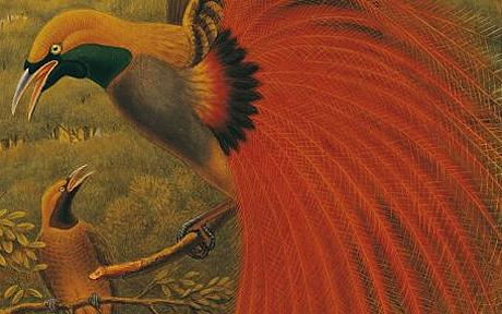 William Hart, Grey-crested Bird of Paradise, undated, private collection