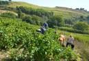 In Sicilia raccolti 70 quintali di uva in un terreno confiscato alla mafia