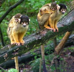 Black-capped_Squirrel_Monkeys at london zoo