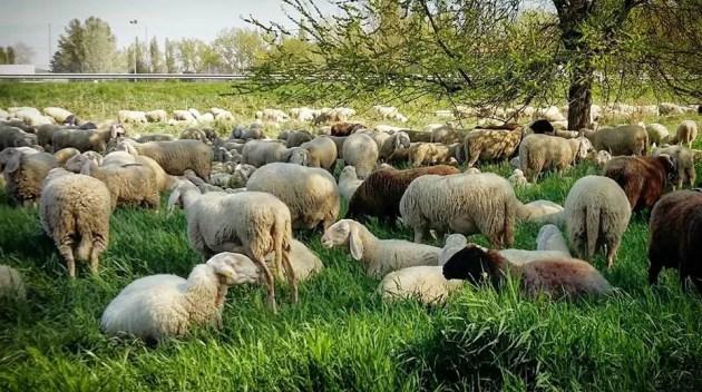 Sono tornate le pecore nel sottomura di Ferrara