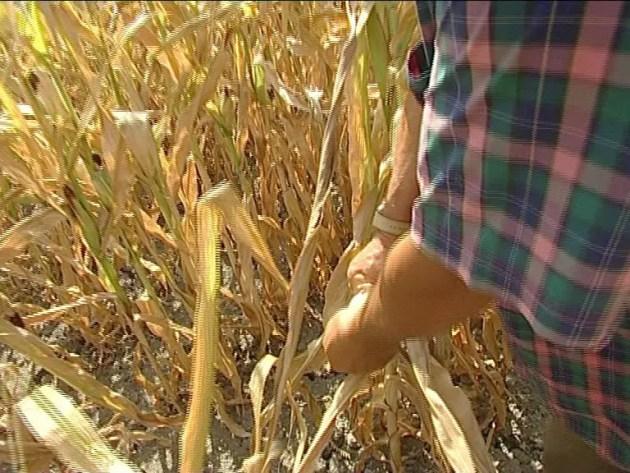 Caldo e siccità, l'anno nero del mais a Ferrara