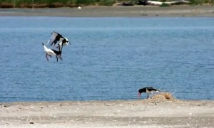 delta uccelli