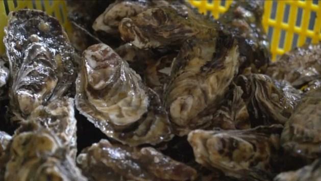 Le ostriche di Goro 'Made in Emilia-Romagna': ecco come si allevano nella sacca – VIDEO