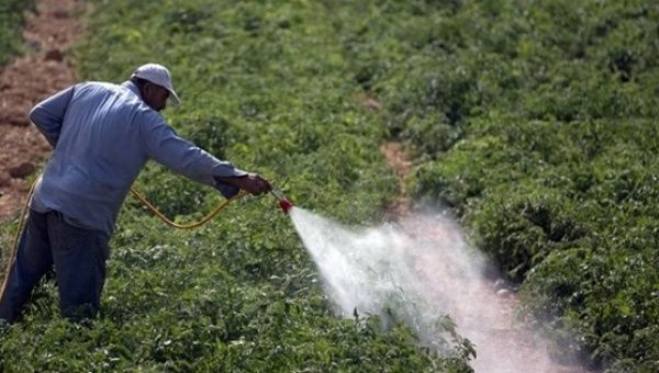 A Palestinian farmer sprays pesticide in a tomato field in the West bank village of Beit Ummar, north of Hebron, Sep. 9, 2012.