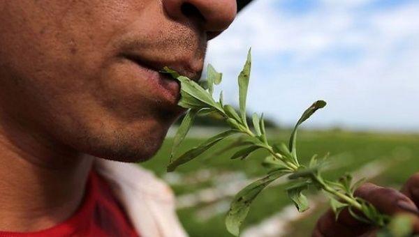 Farmer Isidro Rolon tastes stevia leaves at a plantation in Lima.