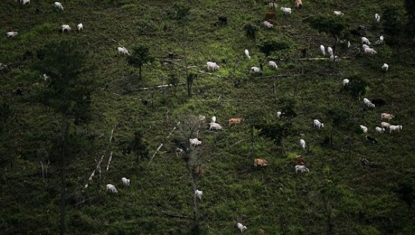 Cattle graze in the Peten jungle, Guatemala.