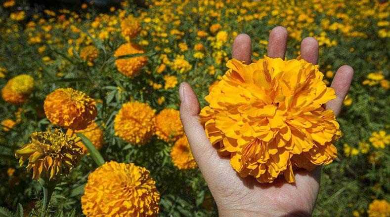 Las flores tienen colores vistosos, brillantes que transmiten paz, alegría gozo y reconciliación, aunque los agricultores también exhiben en el comercio rosas y flor de pascuaa sus clientes.
