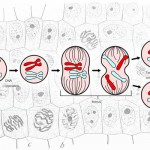 Major_events_in_mitosis