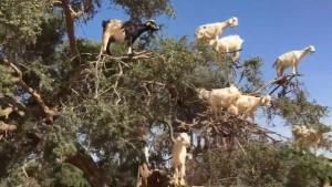 Marokkói kecskék