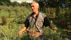 Homoktövis – a magyar citrom