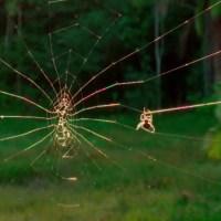 Hogyan szövi a pók a hálóját