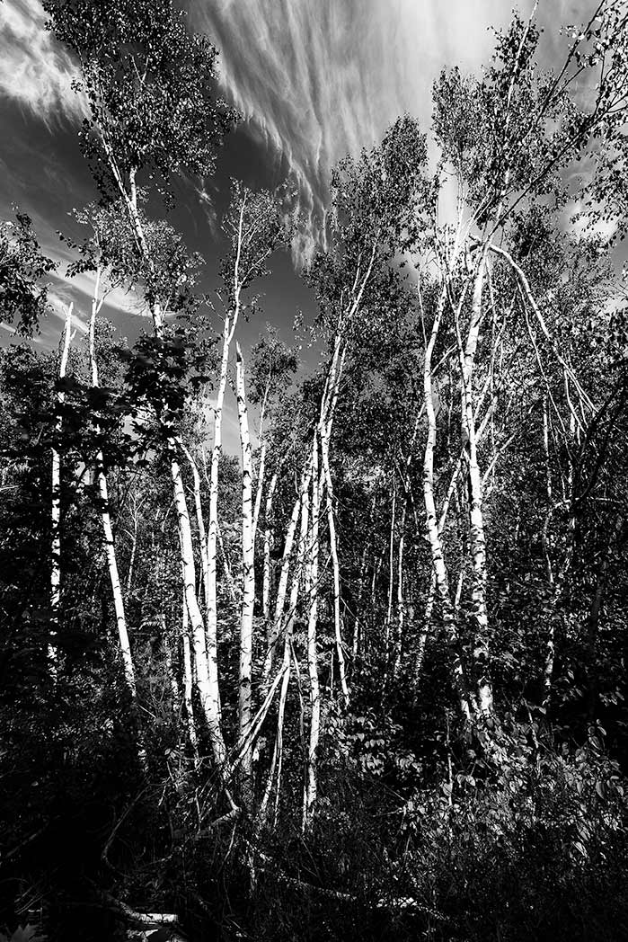 Trees growing together b&w