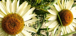 Coneflowers (echinacea) only the best at Tellys