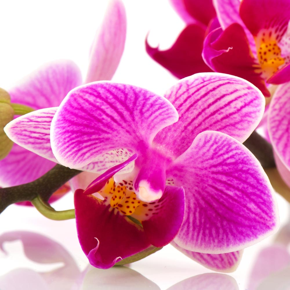 pink orchids tellys greenhouse